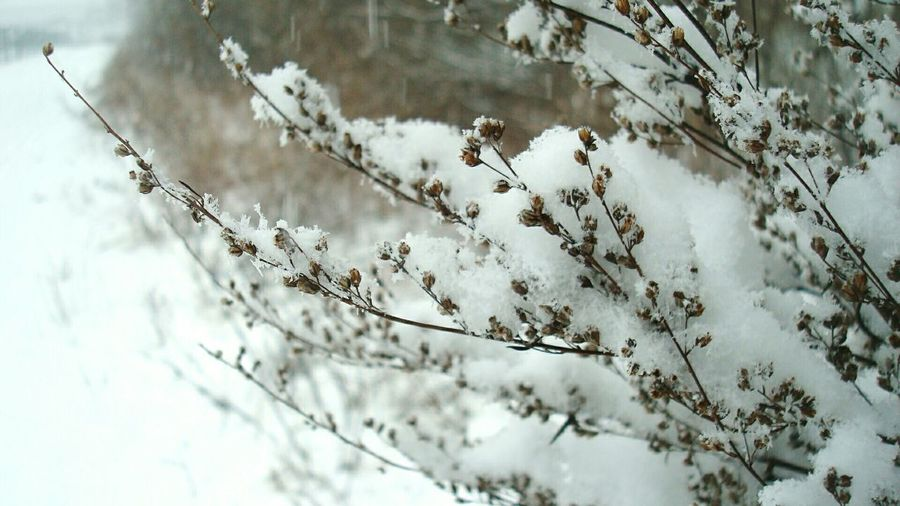 Close-up of snow covered dried plants