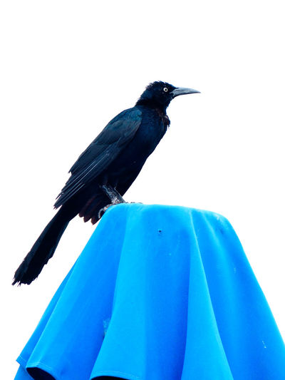 Low angle view of crow against sky
