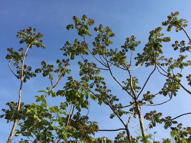 Plant Sky Low Angle View Tree Beauty In Nature Growth No People Scenics - Nature Sunlight Plant Part Nature Clear Sky Outdoors Green Color Sunny Blue