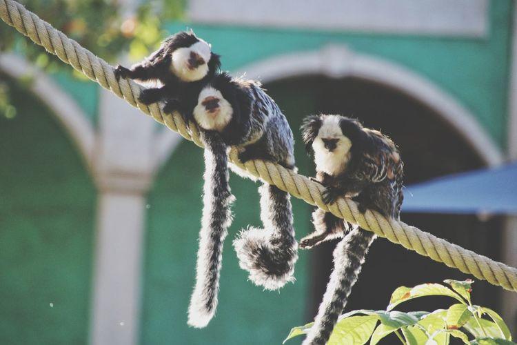 Close-up of lemurs sitting on rope