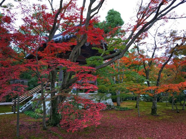 Japan Kyoto Kyoto,japan Autumn🍁🍁🍁 Colors Of Autumn Fall Colors Autumn Colors Autumn Colorful Colors This Is My Paradise Autumn Leaves Once Upon A Time WonderfulJourney Beautiful Nature Taking Photos Hello World Streamzoofamily TheVilleAtEyeem Eye4photography  Enjoying Life