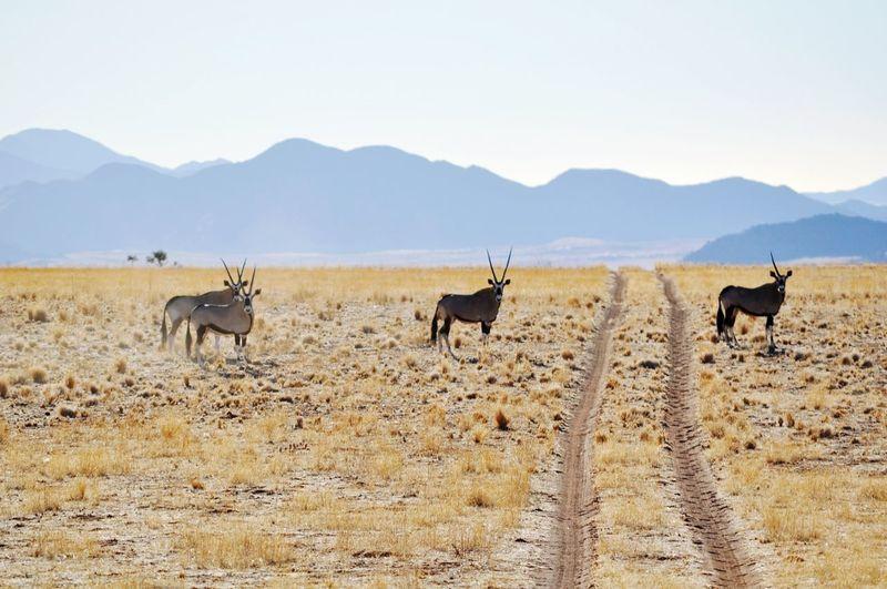 Oryx standing on grassy landscape
