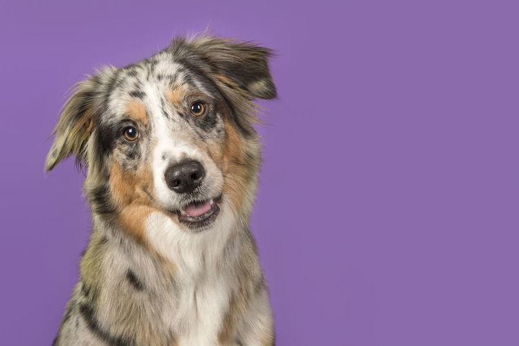 Portrait of a pretty australian shepherd dog on a purple background in a horizontal image with copy space Portrait Dog Portait Pink Background Australian Shepherd  One Animal Pets Dog Studio Shot Looking At Camera Copy Space Colored Background Purple Background Canine Domestic