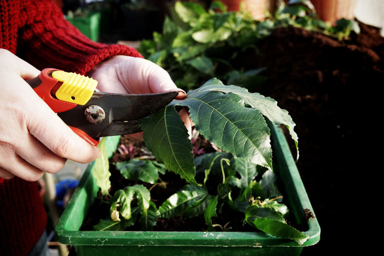 Cropped image of hand cutting leaf with pruning shears in yard