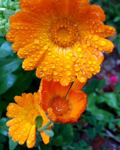 Flower Nature Plant Beauty In Nature Leaf Water RainDrop Rain And Flower Summer Nature Photography Sunlight Tranquility EyeEm Gallery First Eyeem Photo Eyeemphotography Orange Orange Flower Green