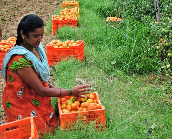 women with her harvest- tomato farm Basket Farm Life Field Food Freshness Growth Happy Woman Harvest Harvest Time Holding Indian Farms Leisure Activity Lifestyles Nature Outdoors Rural Scene Rural Woman Tomato Woman Working Colour Of Life Colors Of Nature Orange Color Happy People Indian Woman Color Palette Women Around The World Investing In Quality Of Life Breathing Space Be. Ready.