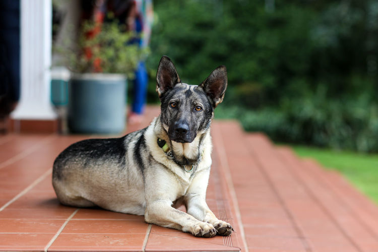 Dog German Shepherd Dogs Dog Doggy Beautiful Outside Pet Pets Domestic Domestic Animals One Animal Mammal Canine Portrait Day No People Looking At Camera
