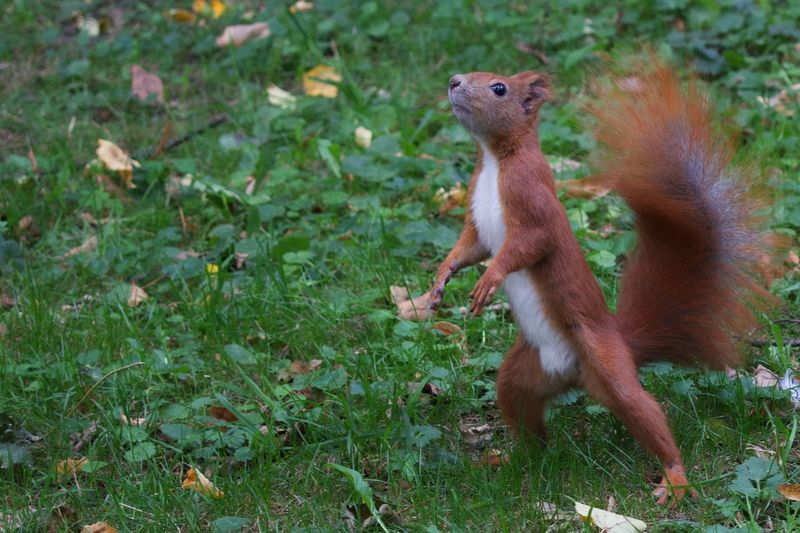 The inquisitive red squirrel 🐿 Animal Animal Themes Animal Wildlife Mammal Animals In The Wild Rodent Vertebrate Nature One Animal Squirrel Full Length Grass Outdoors Rearing Up No People