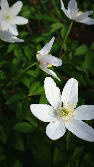 Love the Spring when all the Flowers start showing there faces. Wood Anemones EyeEm Nature Lover