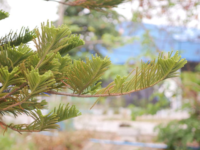 Nature view Plant Green Color Growth Tree Focus On Foreground Close-up Leaf Beauty In Nature Day Nature Plant Part No People Branch Tranquility Coniferous Tree Pine Tree Outdoors Selective Focus Freshness Needle - Plant Part Fir Tree