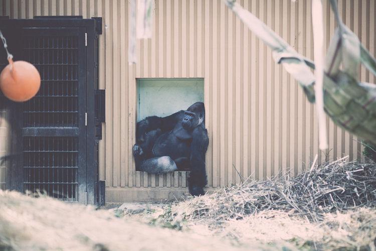 Gorilla resting in zoo