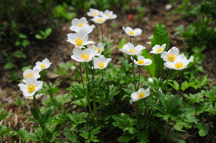 Group of White Japanese Anemones in Alpine rock garden in spring bloom. Anemone hupehensis, japonica, also known as Chinese anemone or Japanese anemone, thimbleweed Rock Garden White Japanese Anemone Alpine Glowing Beauty In Nature Close-up Day Flora Floral Floral Photography Flower Flowering Plant Fragility Green Color Nature No People Outdoors Plant Průhonice Průhonický Park Rock Garden Plants Spring Flowers Spring Flowers April Springtime White Anemone Flowers White Background