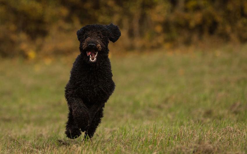 Black dog running on grassy field