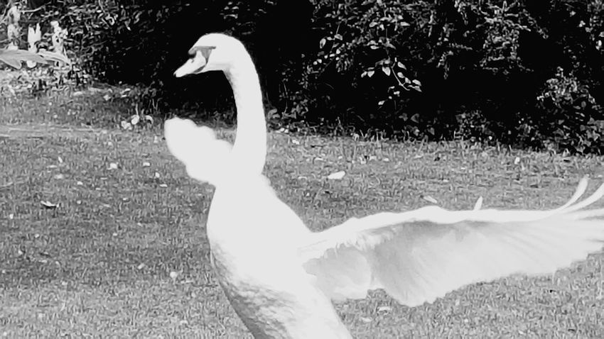 Dublin St. Stephens Green Swan Park Bird