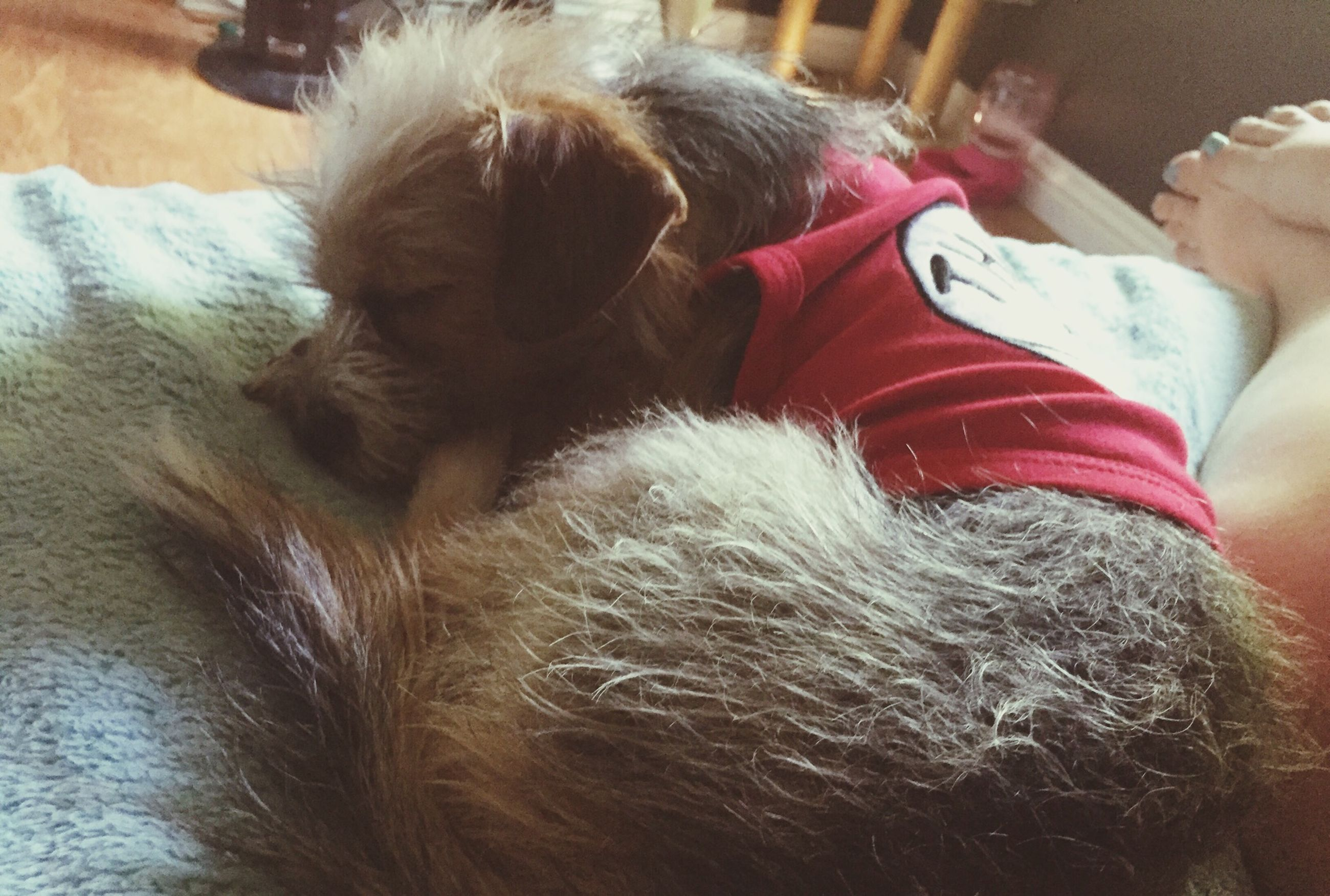 domestic animals, indoors, pets, animal themes, mammal, one animal, dog, relaxation, home interior, sleeping, close-up, resting, lying down, animal hair, high angle view, bed, animal head, two animals, home, part of