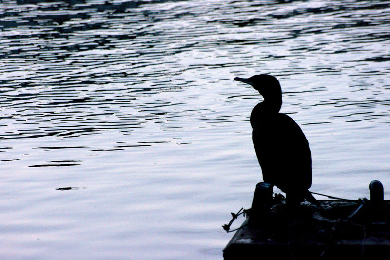 Silhouette bird perching on lake