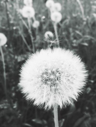 Pusteblume Nature Photography Black & White EyeEm Best Shots EyeEm Nature Lover Daswasichsehe😊
