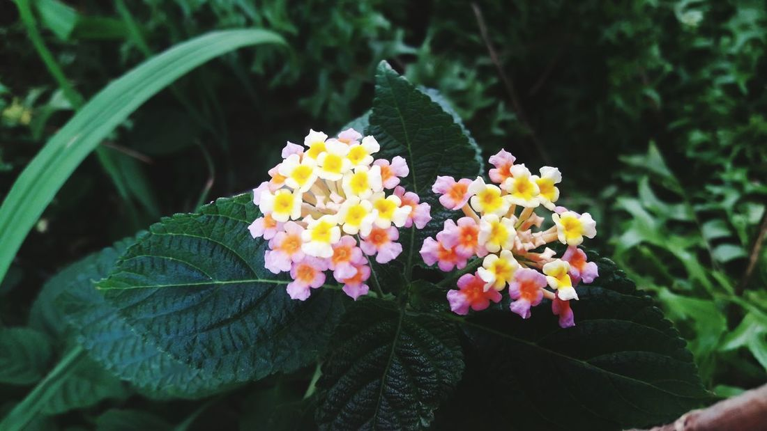 Flower Plant Growth Nature Freshness Beauty In Nature Fragility Petal Leaf Flower Head Green Color Day Outdoors No People Close-up Blooming Lantana Camara