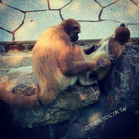 Animals 江戸川区自然動物園 ジェフロイクモザル 母子 かまわないで
