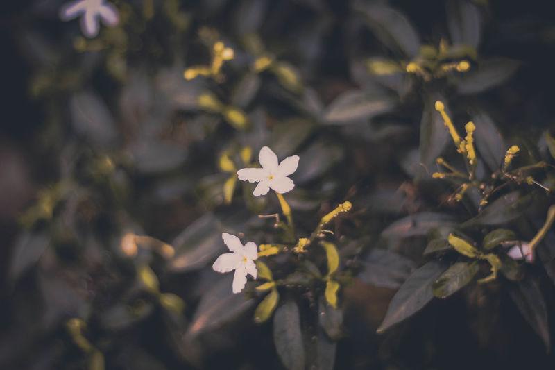 Botany Flower Flower Head Flower Photography Freshness Growth Just Flowers Leaf New Life Selective Focus White White Color White Flower