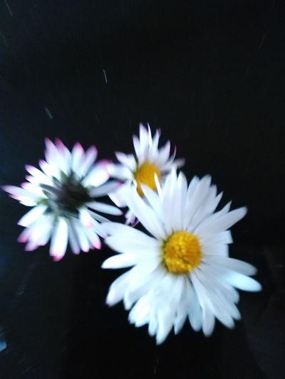Pâquerettes coupées sur fond noir, un peu floues Spring Urban Spring Fever Paquerettes White Flower Flowers Showcase April Daisies Photography In Motion Flowerporn Capturing Movement