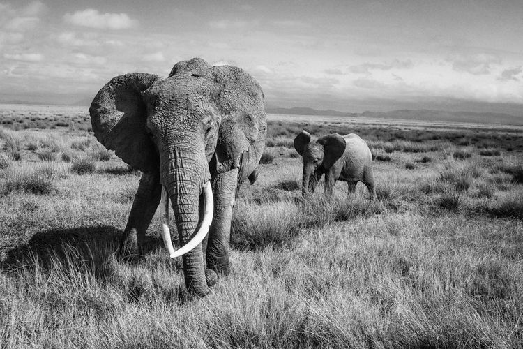 Elephants and calf walking on grassy field