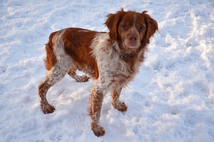 Epagneul breton - Roscino ❤ Dog Love Nikon Epagneul Breton