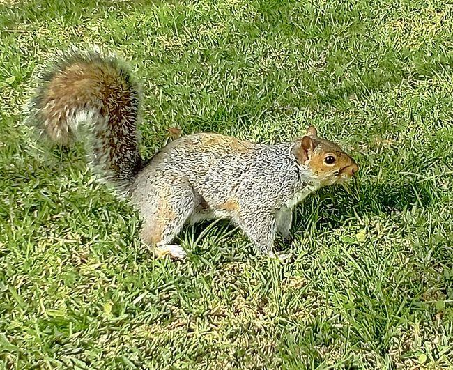 A Curious Squirrel! Green Grass