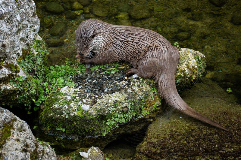 Fishing and eating At Lunch Dinner Time Eating Nature Otter After Bath Animal Brown Clawed Cute Fauna Fish Fishing Fur Lunch Time Lutra Mammal Portrait River Small Stone Water Wild Wildlife