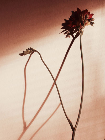 Blooming Petal Single Flower Flower Head In Bloom Fragility Rosé