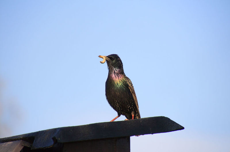 Starling with