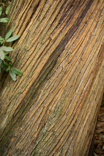Bark Twisted TwistedWood Backgrounds Close-up Day Forest Growth Leaf Nature No People Outdoors Pattern Plant Textured  Wood - Material