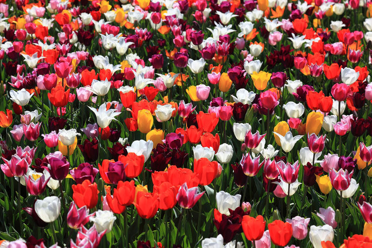 many colorful tulips in one area Tulips Beauty In Nature Colorful Flower Flower Head Flowerbed Flowering Plant Flowers Fragility Freshness Garden Growth Inflorescence Nature No People Outdoors Petal Plant Spring Flowers Tulip Vulnerability