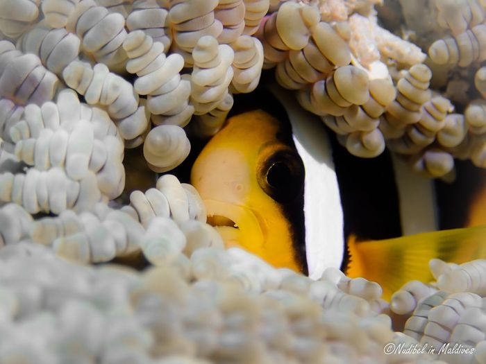 Clownfish Islandlife Wildlife Wild Animal Bubble Coral Nature Photography Nature Marine Life Diving Scuba Diving Underwater World underwater photography Ocean Anemone Close-up Animal Underwater Animal Themes Clown Fish Sea Sea Life Marine UnderSea Animal Wildlife Water Selective Focus Fish