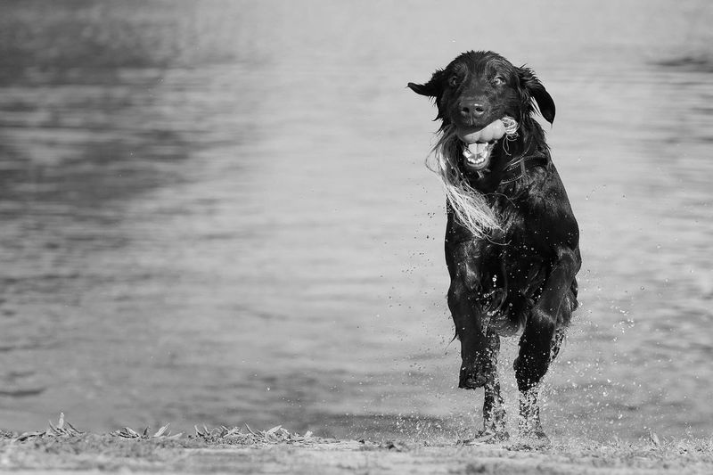 Focus Object Dog Domestic Animals Pets Water Animal Themes Beach One Animal Wet Running Mammal Sea Playing No People Nature Outdoors Day Black Labrador Carrying In Mouth Blackandwhite Dog Love Dogs Animal Animals Bw_collection Welcome To Black Pet Portraits Visual Creativity