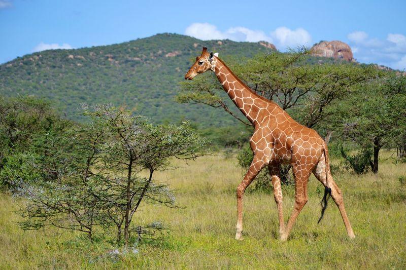 Giraffe Standing On Grassy Field By Mountain Against Sky