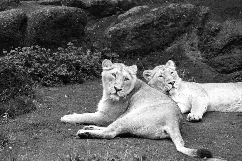 Lion Zoo Zurich, Switzerland Blackandwhite