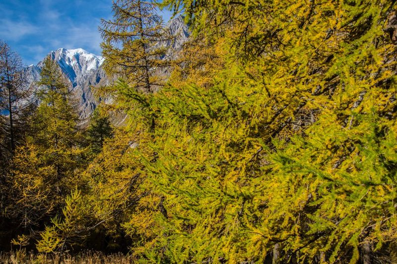refuge bonatti,courmayeur,italy Pine Tree Tree Plant Autumn Beauty In Nature Green Color Forest No People Growth Day Nature Land Tranquility Scenics - Nature Yellow Non-urban Scene Tranquil Scene Plant Part Leaf Environment Change Outdoors WoodLand Evergreen Tree Coniferous Tree