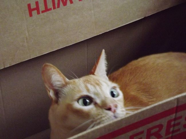 Crazy cat in a box! Check This Out Cat Cat♡ Cat Lovers Crazy Cat Cat In A Box Taking Photos Just Because Crazy Eyes...but I Luv Them Crazy Crazy Eyes Pets Pets Corner Pet Photography  Pet Love Feline Box Photography In Motion