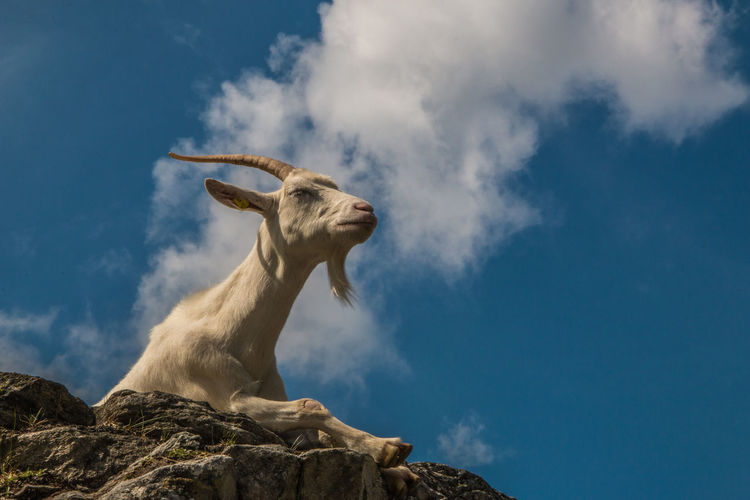 Low angle view of mountain goat on rock against sky