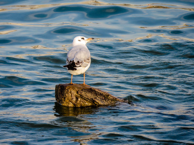 Seagull resting on the log sticking out from the water. Animal Animal Themes Animal Wildlife Animals In The Wild Bird Day Gull Nature No People One Animal Outdoors Perching River Rock Sava River Sea Seagull Vertebrate Water Waterfront EyeEmNewHere