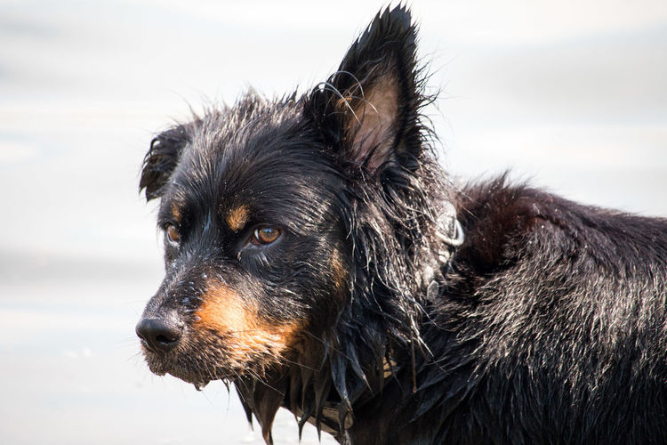 Border collie mix in the water Border Collie Animal Animal Body Part Animal Head  Animal Themes Black Color Border Collie Border Collie Mix Canine Close-up Day Dog Domestic Domestic Animals Focus On Foreground Looking Looking Away Mammal No People One Animal Pets Profile View Purebred Dog Side View Vertebrate