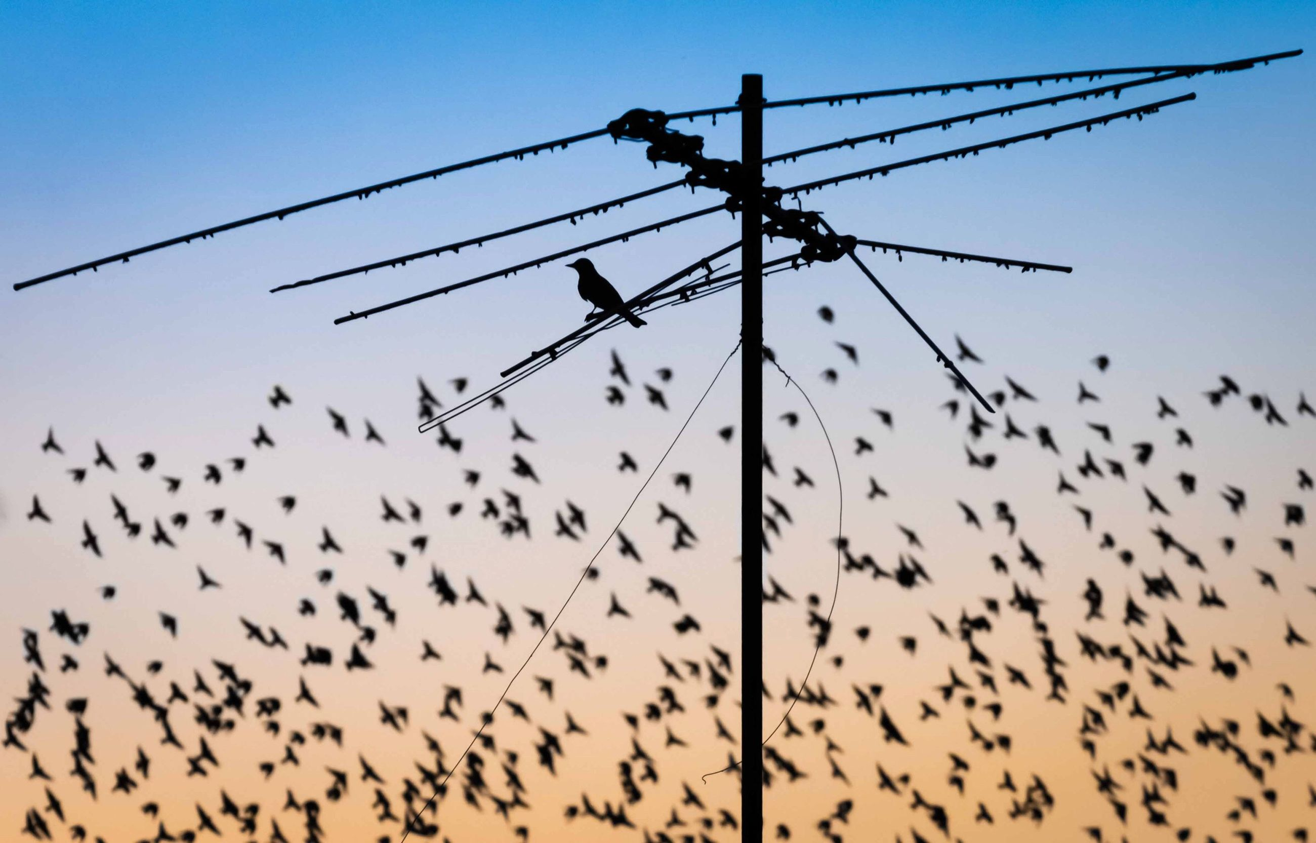 low angle view, animal wildlife, sky, large group of animals, animals in the wild, group of animals, animal, animal themes, bird, vertebrate, flying, no people, clear sky, nature, sunset, silhouette, cable, flock of birds, technology, electricity, outdoors, power supply