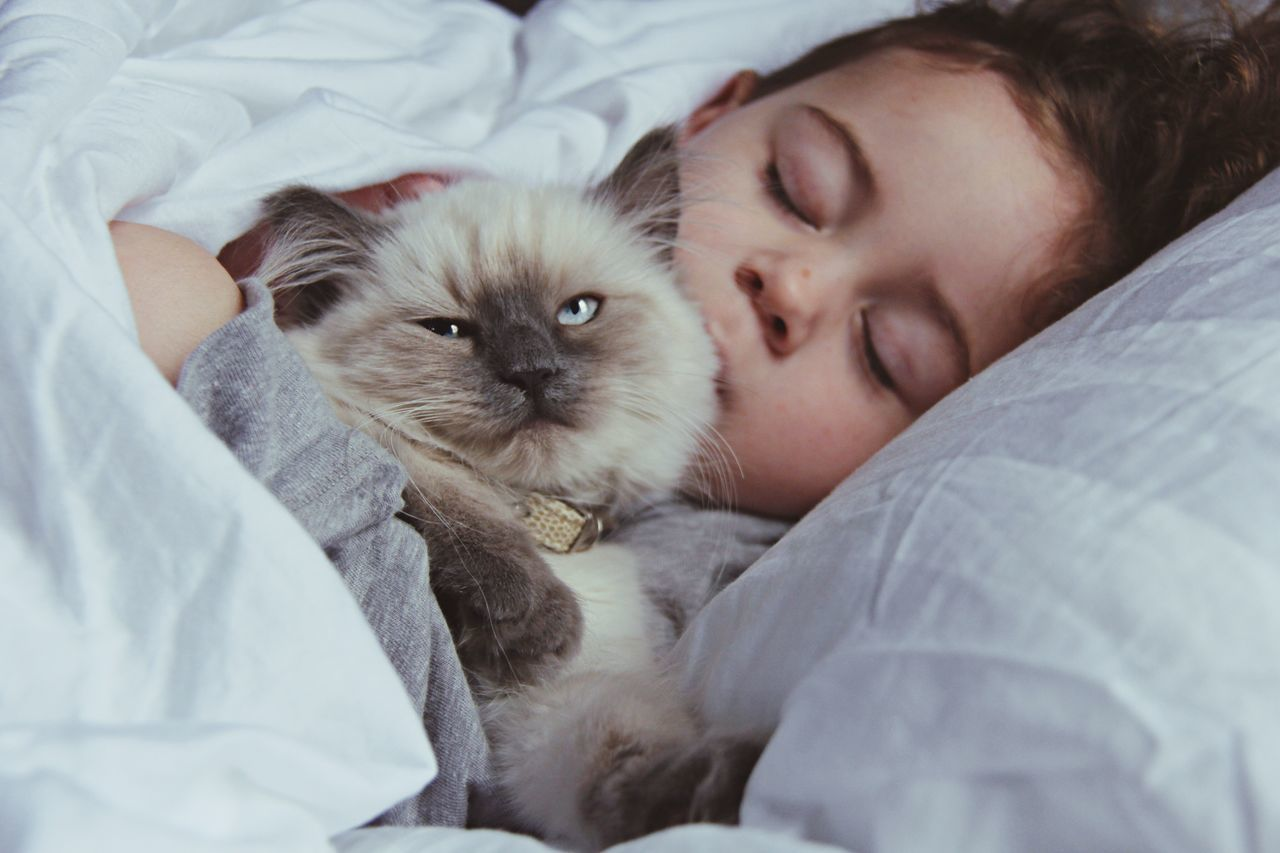 Portrait of ragdoll cat with sleeping girl on bed at home