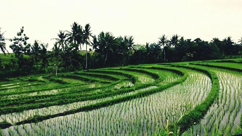 Ricepaddies Ubudvillage Taking Pics While Driving Adventuretime Movement Photography Nurturing Nature Eyesoul