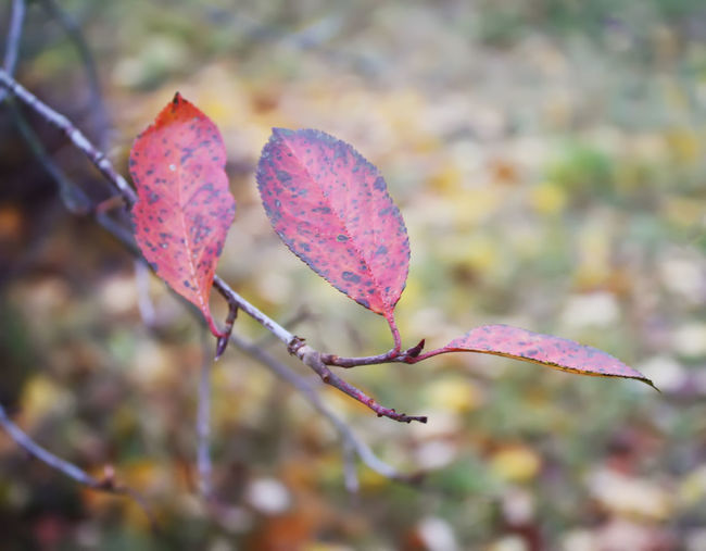 Red leaves of