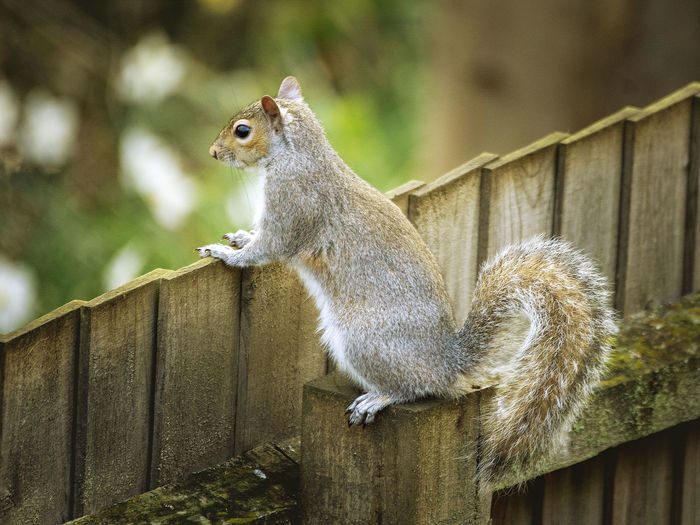 Close-up of squirrel on wooden fence
