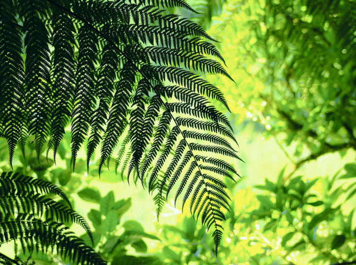 close up image of Green Fern Frond taken in New Zealand. Shade Textures Background Beauty In Nature Close-up Day Fern Ferns Foliage Freshness Frond Garden Green Green Color Growth Landscape Leaf Nature No People Outdoors Pattern Plant Tree