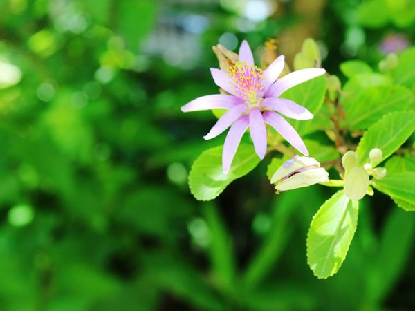 Flower Leaf Nature Plant Green Color Flower Head Beauty In Nature Outdoors Fragility Close-up Petal Purple Pink Color Summer Day Freshness Multi Colored Plant Part No People Springtime