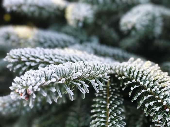 Nature Growth Close-up Winter Cold Temperature Beauty In Nature Focus On Foreground Plant Tree No People Snow Outdoors Day Leaf Fragility Needle - Plant Part Freshness Winter Christmas Pain Tree